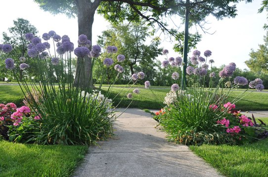 Allium flanks the garden walk as you enter from the street.
