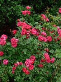 Explorer Roses
