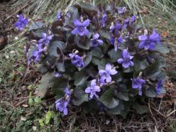 purple labrador violet