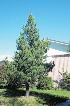 Swiss Stone Pine.