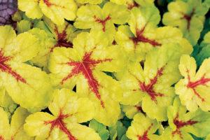 Heucherella Sunspot