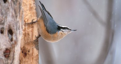 The acrobatic nuthatches
