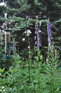 Feathery Thalictrum, purple Acontium and white valerian help attract birds to the feeders.