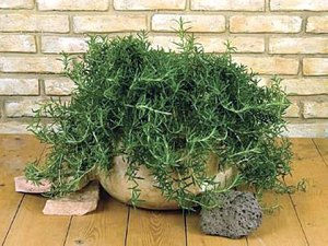 Rosemary works well as a container plant. This way you can overwinter the plant inside in a sunny location