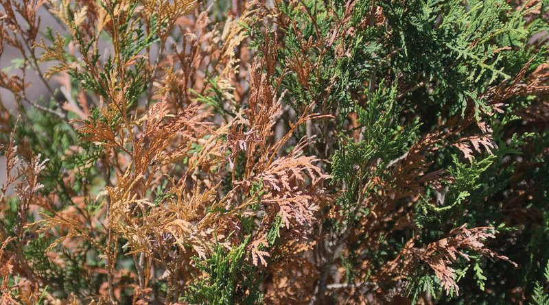 How to prevent and deal with winter burn on evergreens