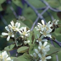 Saskatoon berry (Amelanchier alnifolia) plant hardiness zone 1
