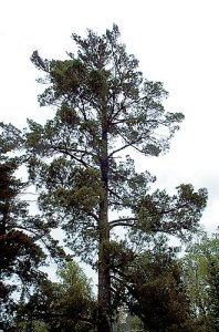 A White pine towering over the forest canopy.