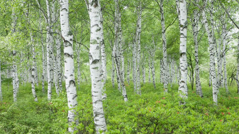 birch trees in the