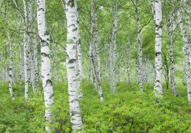 how to care for birch trees in the urban landscape