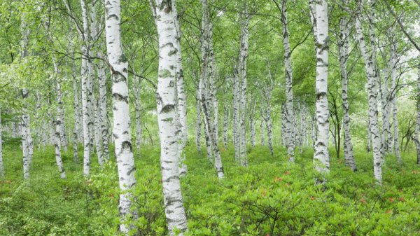birch trees in urban landscape