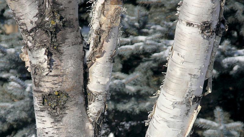 common birch tree pests