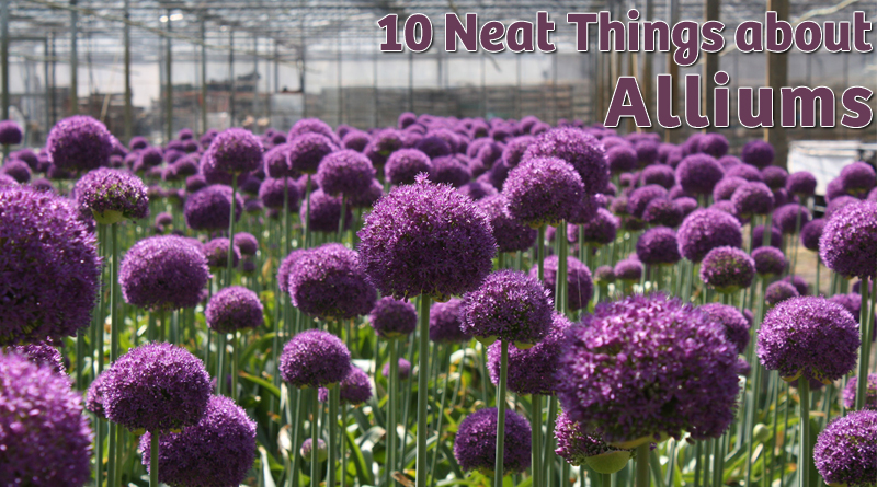 10 Neat Things about alliums