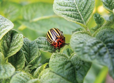 Watch out for the Colorado potato beetle - they can do a lot of damage.
