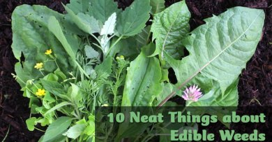 10 neat things about edible weeds