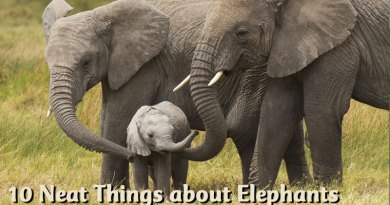 10 Neat Things about elephants