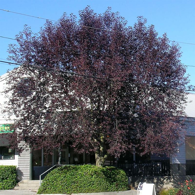 Canada red chokecherry tree