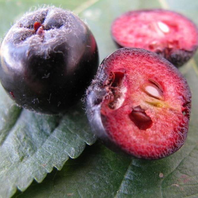 Chokeberry seeds