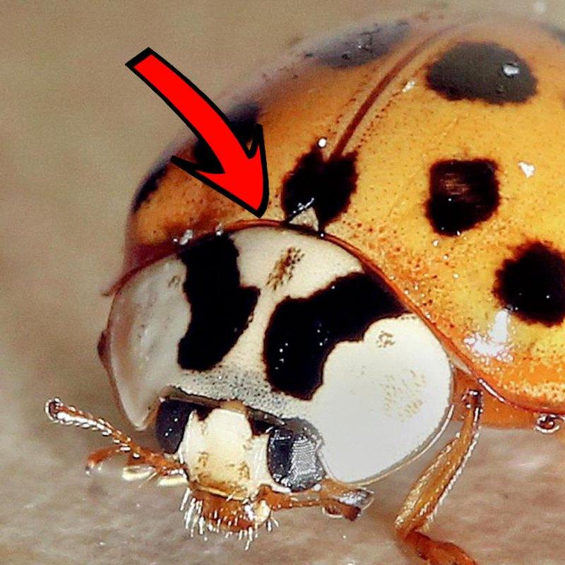 asian ladybug mark