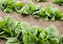 Garden Fresh Recipes: Spinach recipe