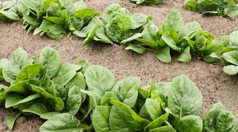 spinach recipe