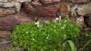 Sweet-Woodruff-(Gallium-odorata)