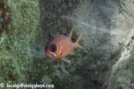 Soilder fish