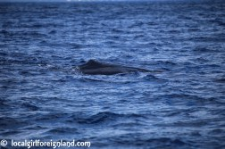 Les-Heures-Saines-Malendure-Guadeloupe-whale-watching-cruise-2381