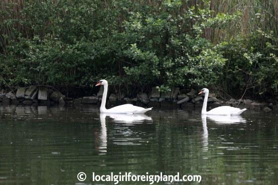 Swans on Canal du Nivernais, Burgundy, France