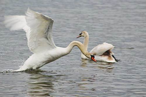 A MUTE SWAN rises up to launch an attack on an unsuspecting rival swan that crossed into his territory on Lake Quannapowitt. (Maureen Doherty Photo)