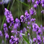 Lavender 2b