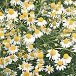 german-chamomile-2_Burpee credit