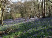 Downe bluebells