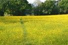 Superb meadow of buttercups near Hever
