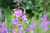 Rosebay willowherb and bee, One Tree Hill