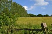 Poplars near Hever