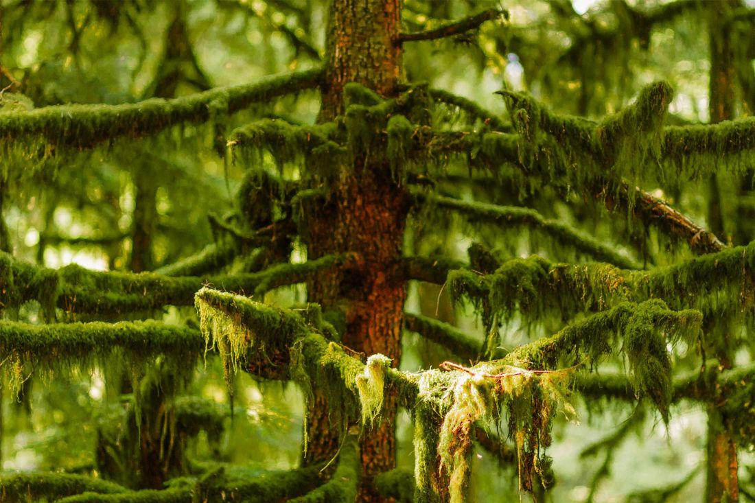 Moss-covered trees along the trail to Marymere Falls, Olympic National Park   Local Love and Wanderlust