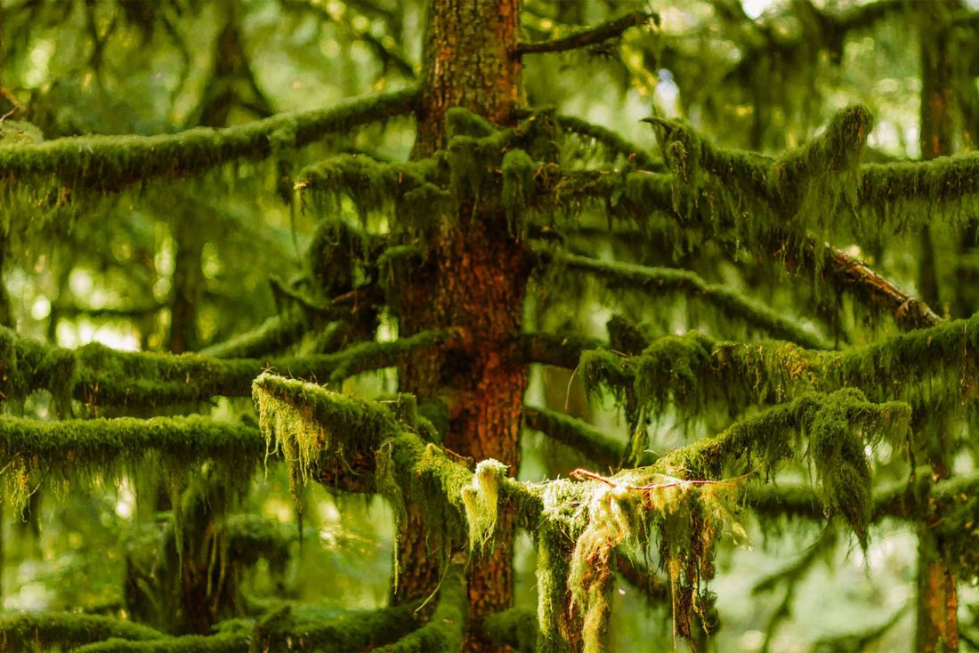 Moss-covered trees along the trail to Marymere Falls, Olympic National Park | Local Love and Wanderlust