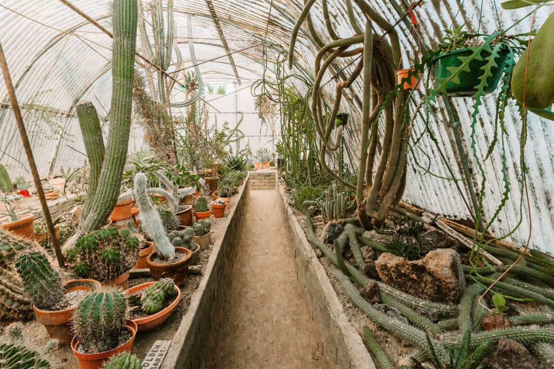 Cactus and succulent plants in a greenhouse