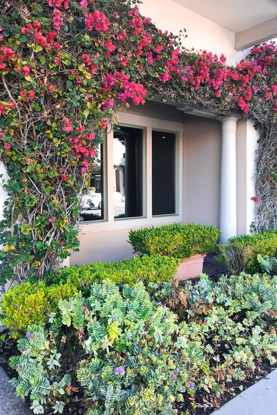 Pink and green floral growing on a building in Monterey, California | Local Love and Wanderlust