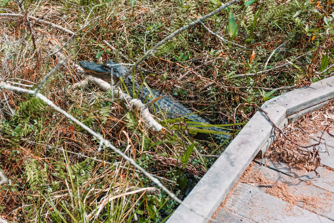 An alligator laying in a swamp under a wood walking trail