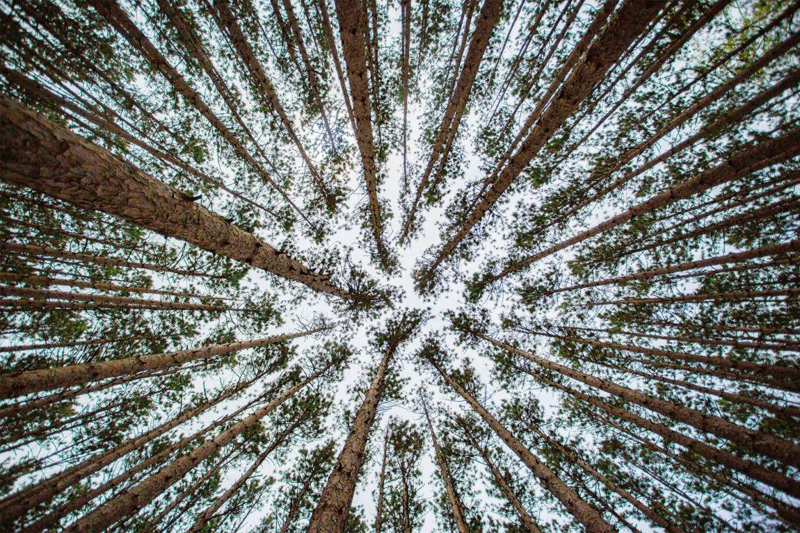 Worms eye view of trees in Oak Opening Preserve part of Toledo, Ohio Metropark