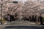 Famous sakura trees bloom in abandoned Fukushima town - 4