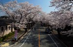 Famous sakura trees bloom in abandoned Fukushima town - 3