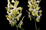 S'pore Orchid hybrids named after Lee Kuan Yew and wife - 4