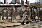 Tokyo zoo stages'zebra escape' - 15