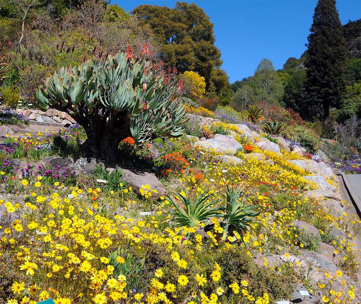 UC Berkeley botanical garden welcomes back public with dazzling 'super bloom'