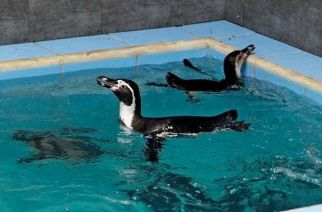 Humboldt penguins at Byculla Zoo