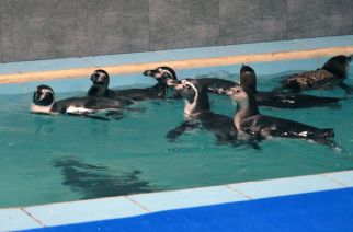 The 8 humboldt penguins at Byculla zoo