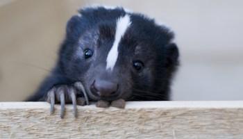 skunk Plano Animal Shelter