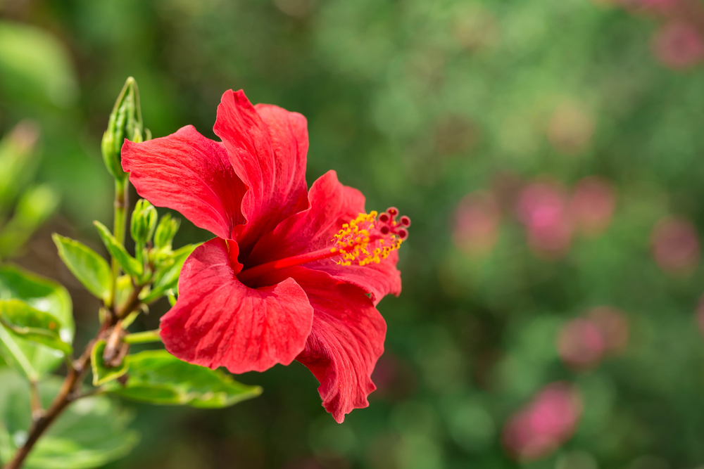 hibiscus north texas collin county plano